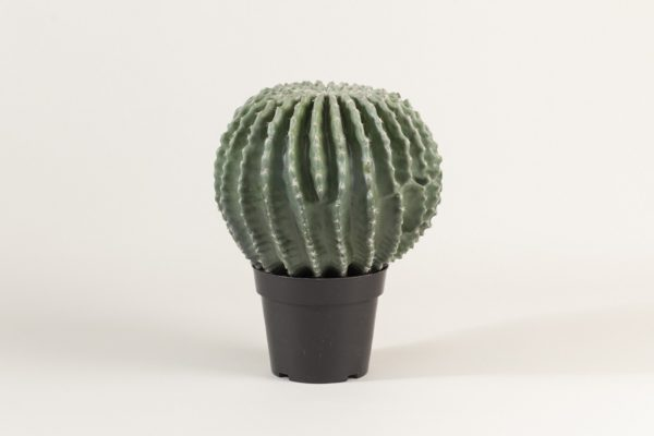 golden-ball-cactus